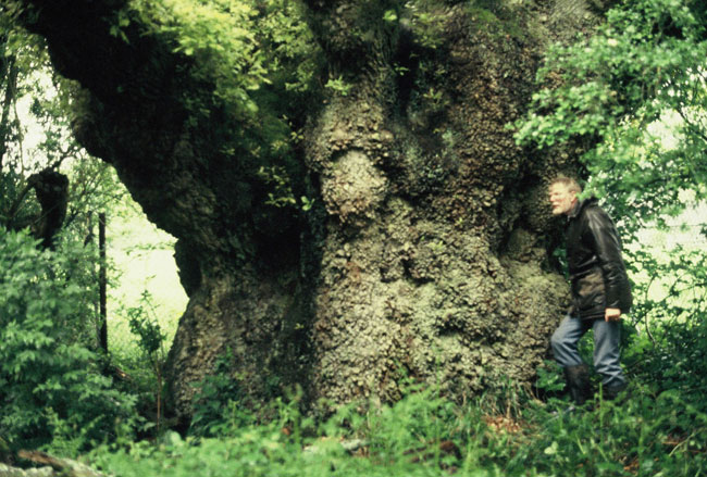 1,000 year old Oak in Savernake