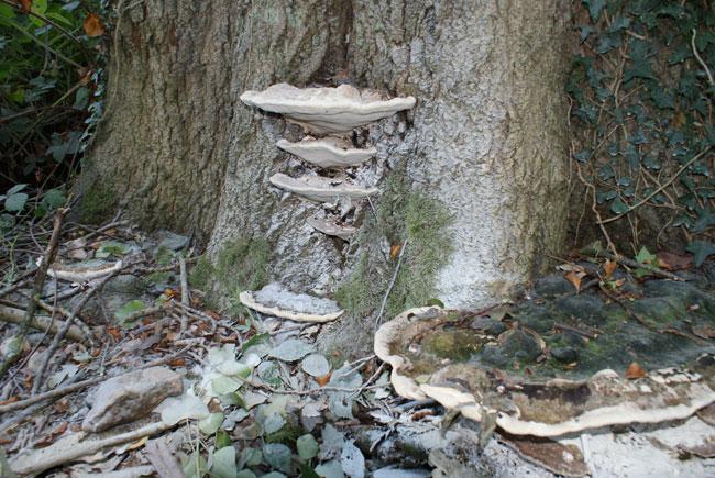 Perenniporia fraxinea, Berkshire