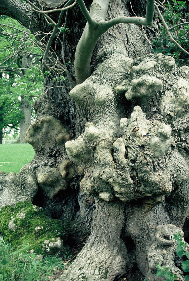 Veteran Ash, Moccas Park